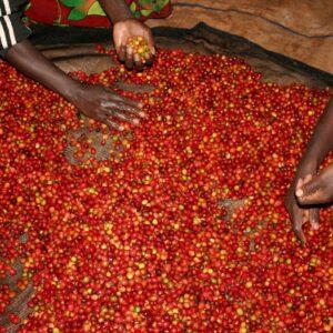 Burundi coffee farmers checking coffee cherries