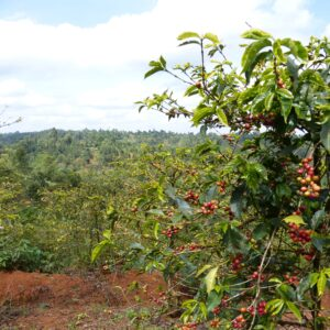 Kiambu Kenya coffee farm