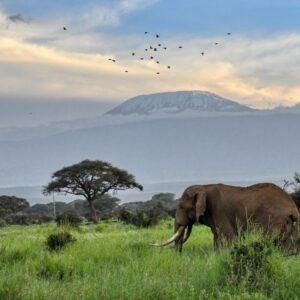 Elephant walking across savanna around Mt Kilimanjaro